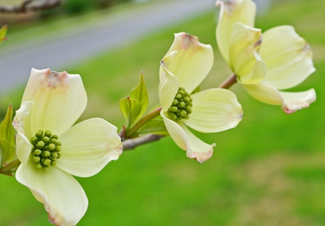 041314_Dogwoods PHOTO4