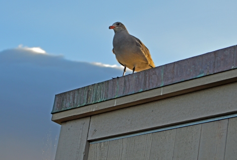 A seagull rests on the corner of the Barrelhouse in Sausalito, California as fog rolls into the San Francisco Bay.